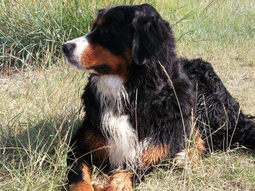 berner dog good