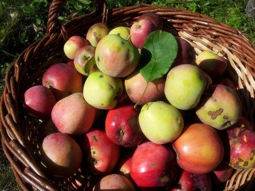 berner rose apple basket apple