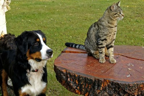 bernese mountain dog canine tabby