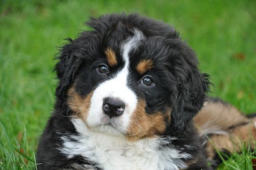 bernese mountain dog dog big dog