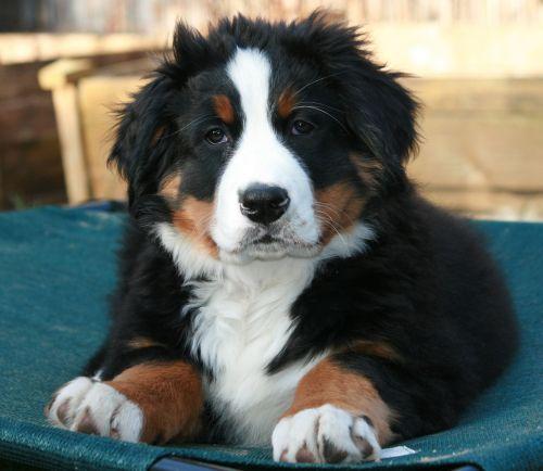 bernese mountain dog puppy berner