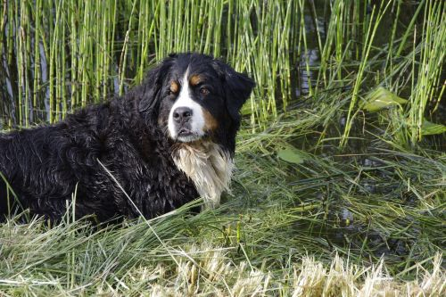 bernese mountain dog dog animal