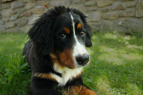 bernese mountain dog dog large