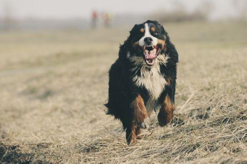 bernese mountain dog berner sennen switzerland