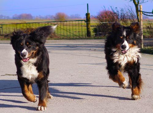 bernese mountain dog race run