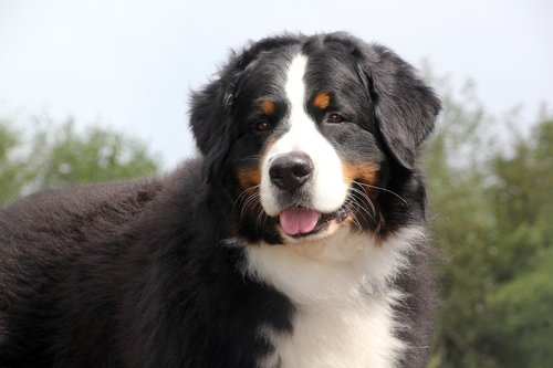 bernese mountain dog  bernese