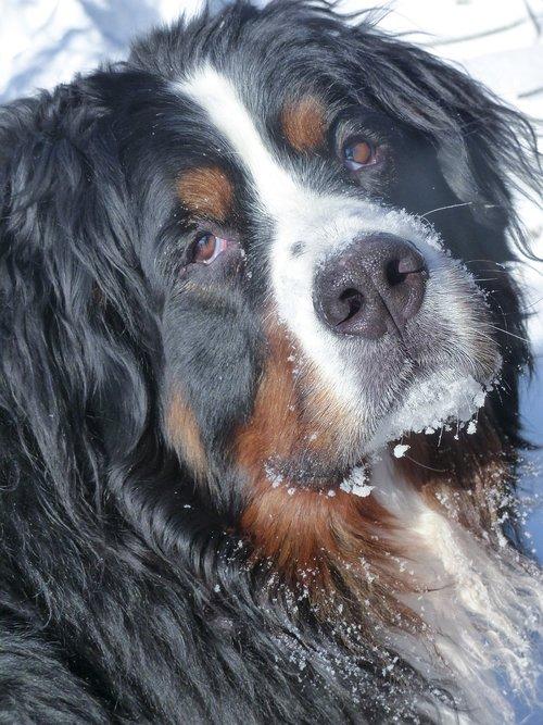 bernese mountain dog  pet  animal
