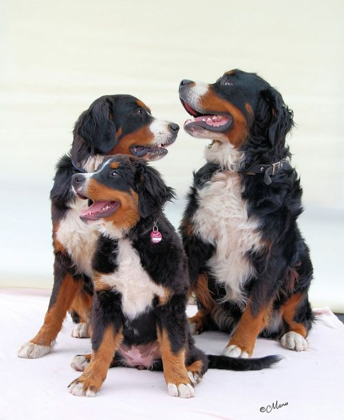 bernese mountain dog dog berner