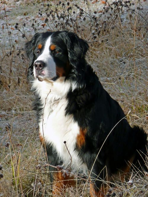 bernese mountain dog berner sennenhund dog