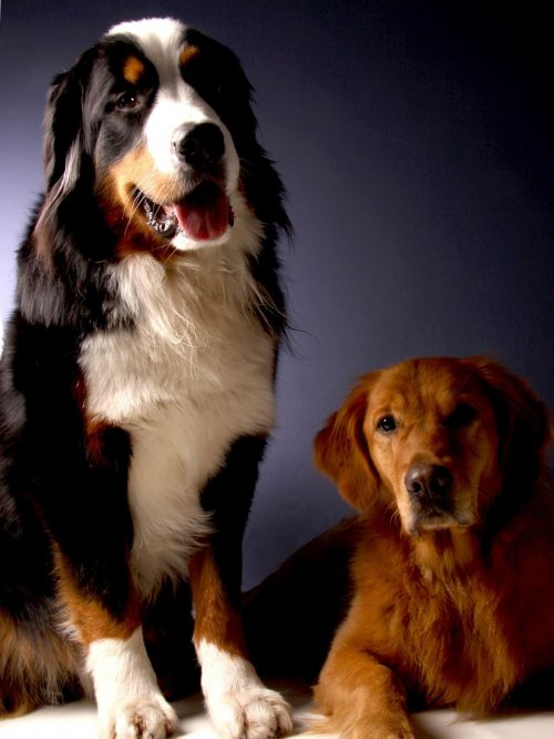 bernese mountain dog golden retriever dog