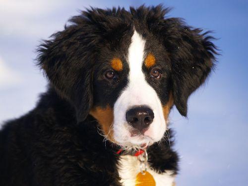 bernese mountain dog puppy animal