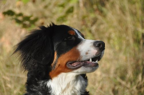 bernese mountain dogs dog youngster