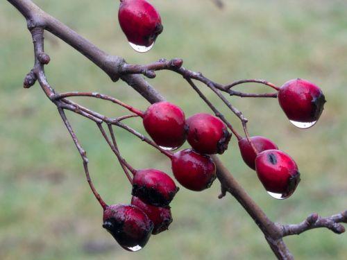 berries red weissdorn