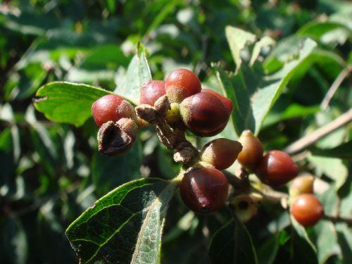 berries plants nature