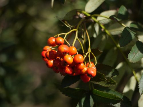 berries rowan season