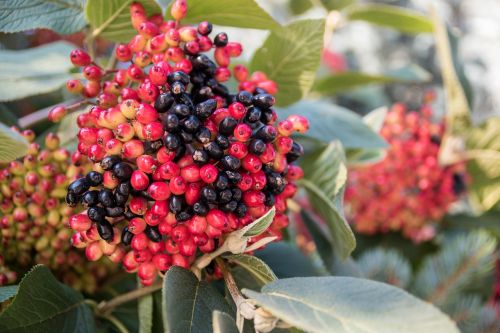 berries red black
