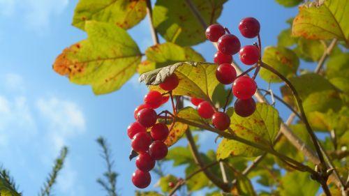 berries late summer garden