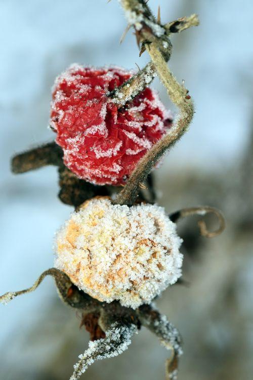 berries frozen berries rose hip