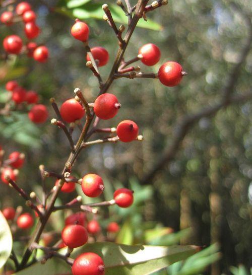 berries red round