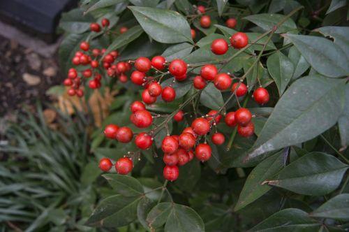 berries plants botany