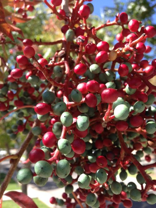 berries red and green new mexico