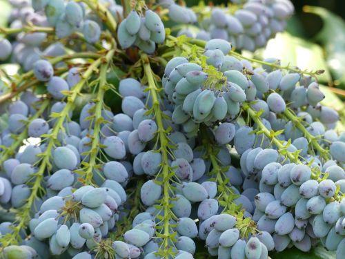 berries mahogany purple
