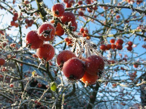 berries frost winter