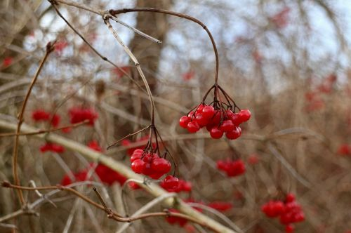 berries berry red