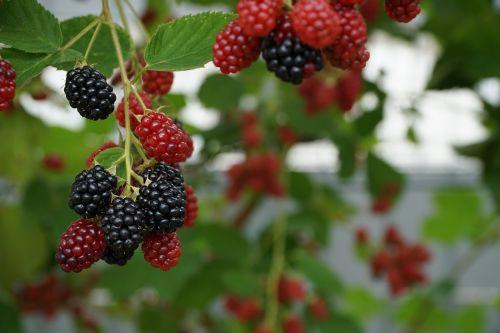 berries nature red