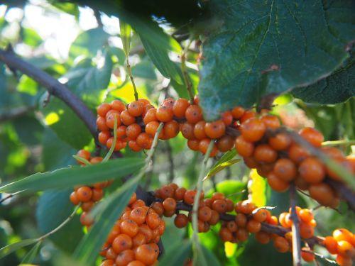 uogos,vaisiai,gamta,vaisiai,oranžinė uoga,krūmas,Nebaigtas,atvirukas,sodas