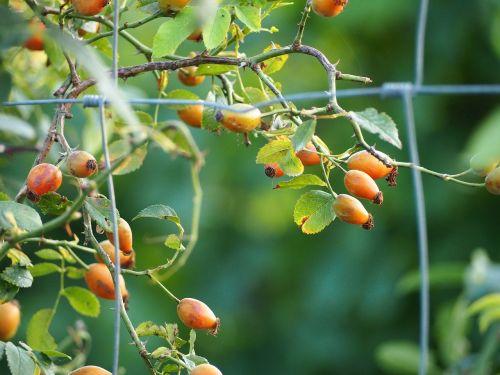 berries fence fruit