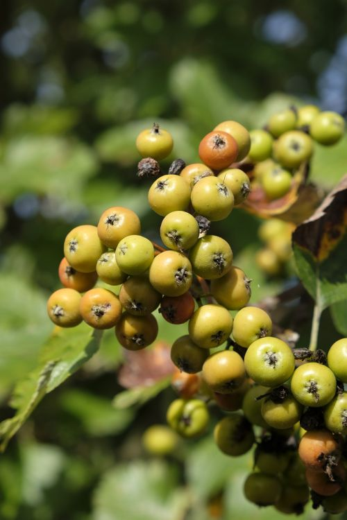 berries flour berries sorbus