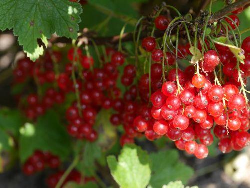 berries cranberry fruit