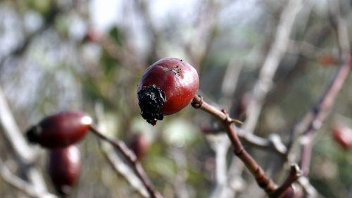 berries red rosehip