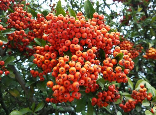 berries,forest,autumn,nature,landscape,plants,wild,red berries,plant wildlife,shrub,wild nature,red fruit