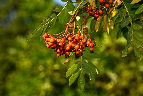 berries  fruit  mountain ash