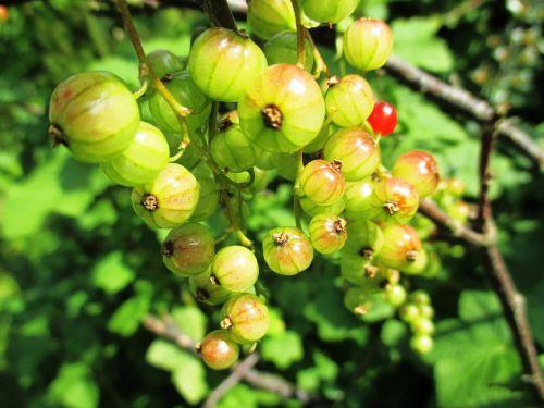 berries garden currant ribes rubrum