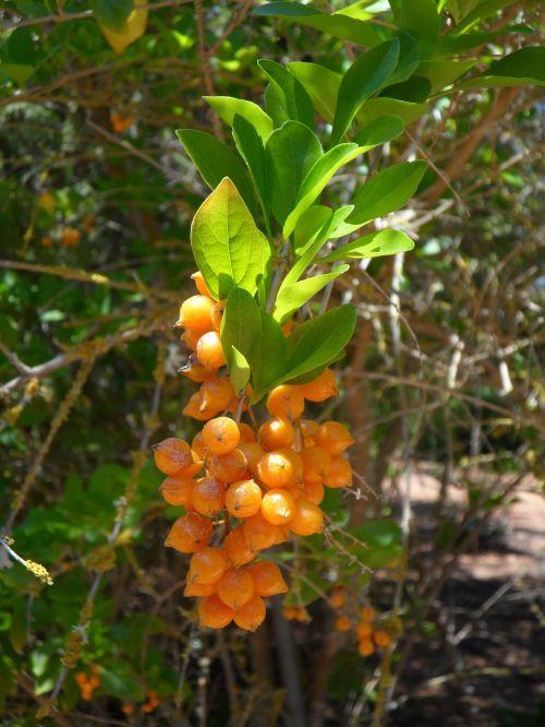 berries berry orange