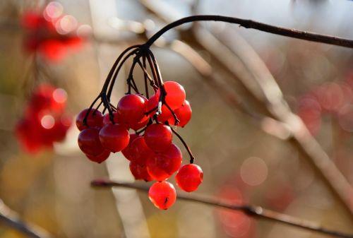 berries red bush