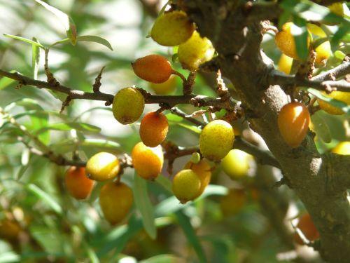 berries sea buckthorn bush