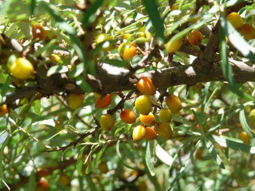 berries fruits spur