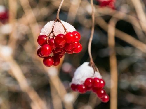berries red winter