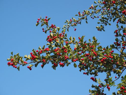 berries fruits red