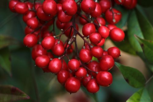 berries red nandina