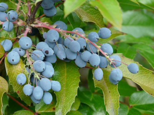 berries blue fruit