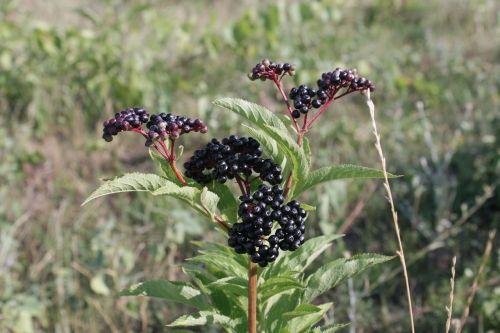 berries black ebulus