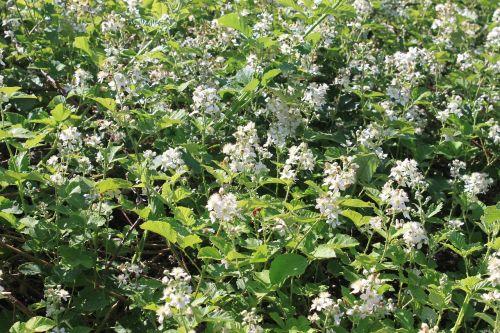berries blackberry flowers