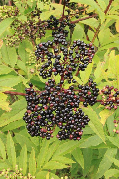 berries black danewort