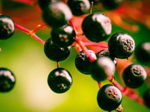 berries elder black elderberry
