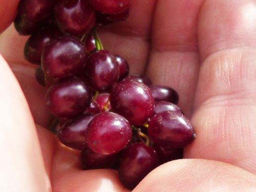 berries hand macro